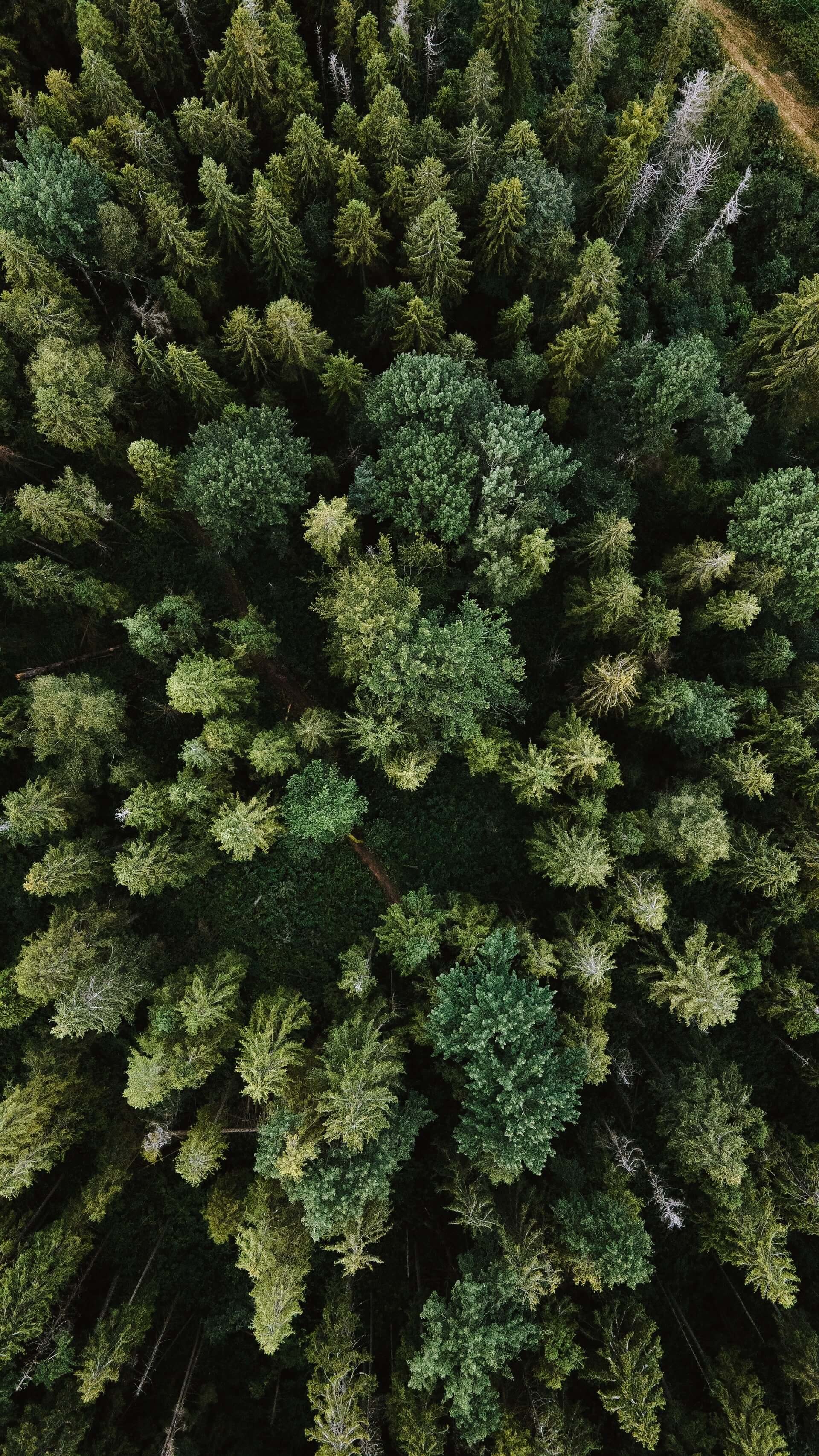 Overhead view of a pine forest